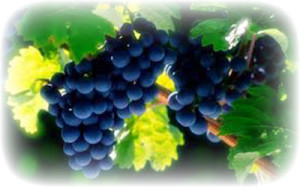 виноград при лактации